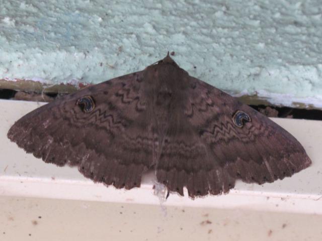 Moth_1