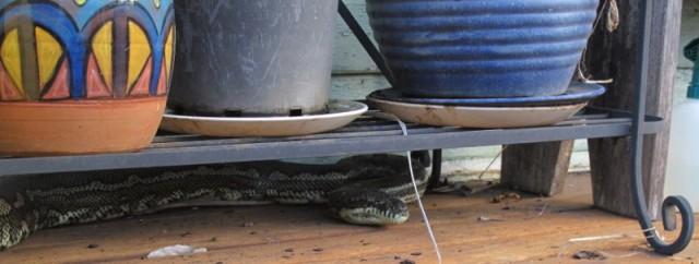 Carpet python, Morelia spilota