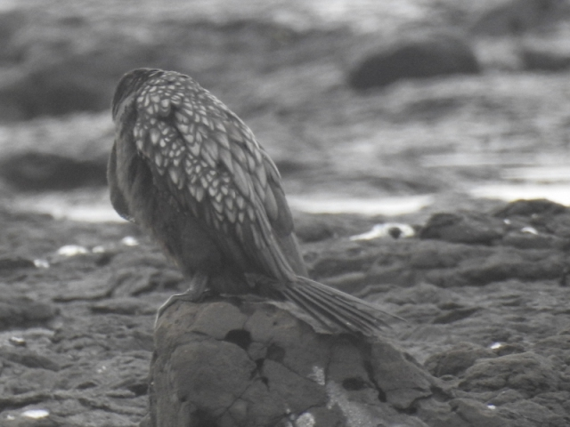 little-black-cormorant_2